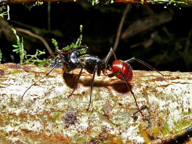 formica gigante