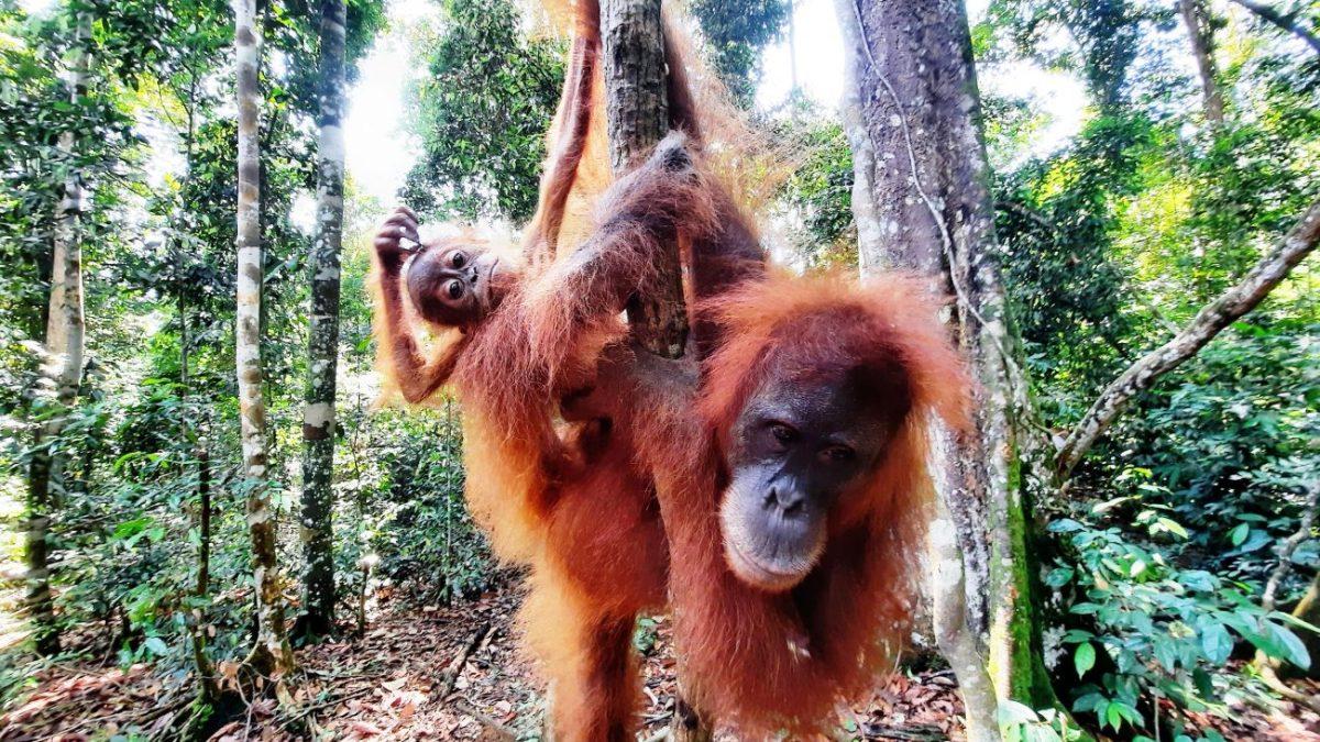 Bukit lawang orango e piccolo