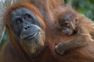 TOPSHOTS-INDONESIA-ENVIRONMENT-CONSERVATION-SPECIES-ORANGUTAN