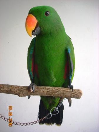 Gambar Burung Nuri Ternate