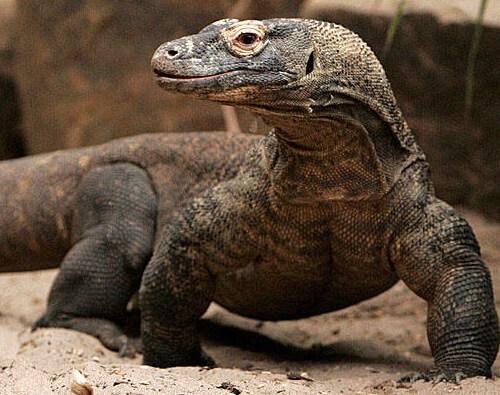 Komodo Dragon in het Komodo National Park - Indonesië