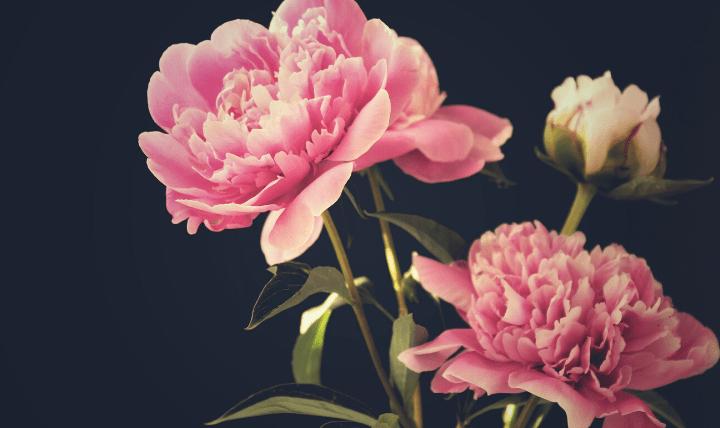 ぼ_牡丹3