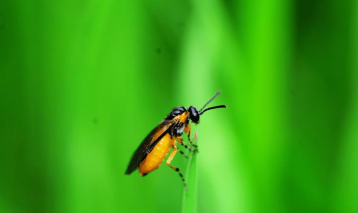 ち_チュウレンジハバチ
