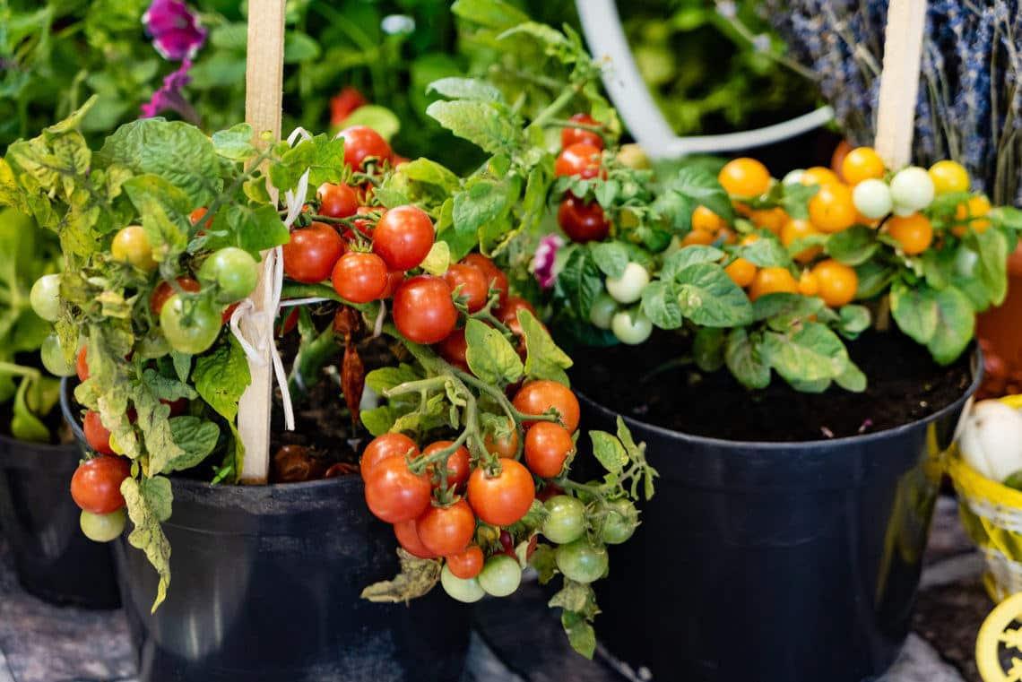 Grow Cherry Tomatoes Indoors An Easy Guide Indoor Garden