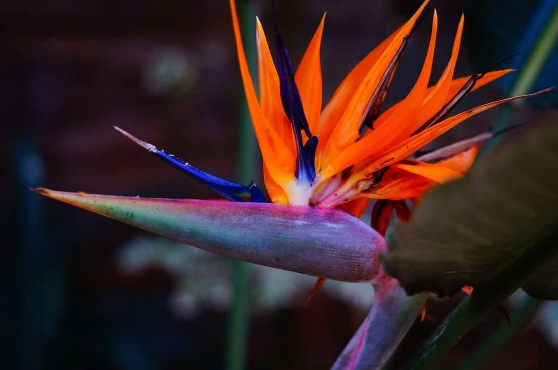 Bird Of Paradise Plant Care - Watering, Lighting, Pests, And