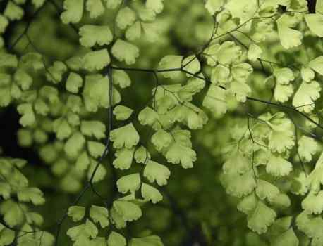 Adiantum Aethiopicum – How to Care for Maidenhair Fern