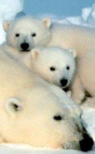 Fakta Menarik Tentang Beruang Kutub