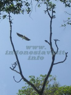sea eagle at lengkuas island, belitong