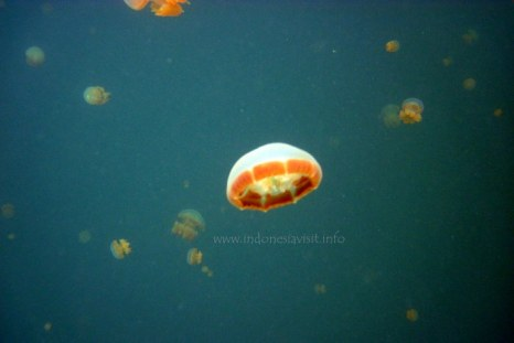 stingless jellyfish @ kakaban