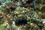 coral reefs @ Kambing island