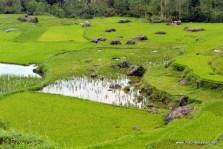 lush ricefields