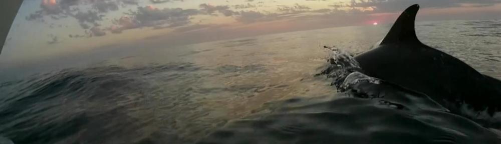 delfiny na atlantyku