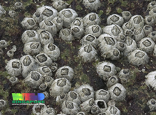 barnacles