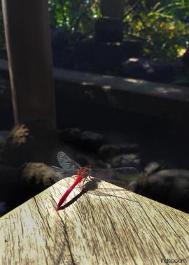 Around Japan - Dragonfly in Nagamachi Samurai District by Matias Masucci