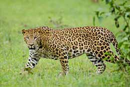 Leopard Caught In Residential Area In Shadnagar