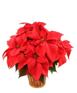 vibrant-red-poinsettia.425