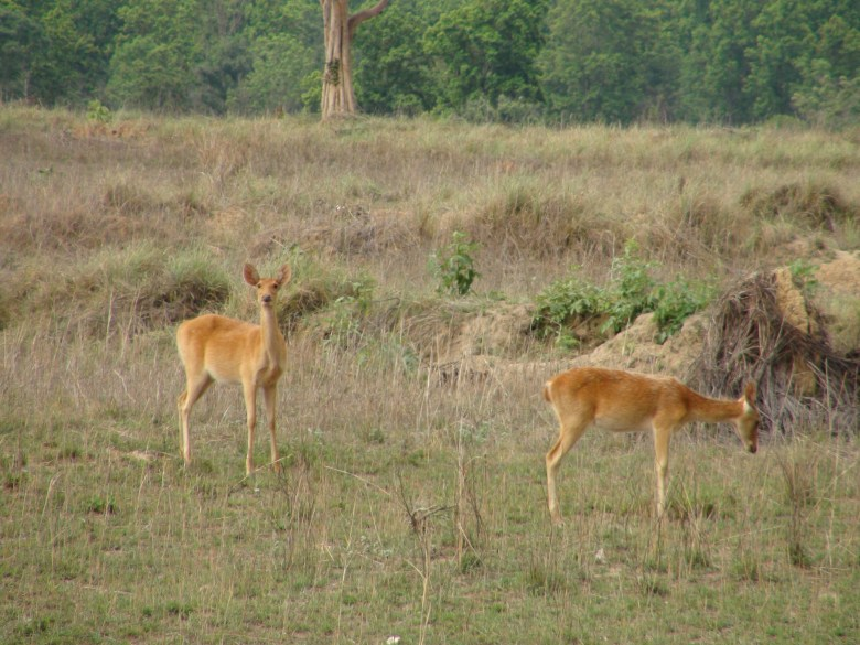 Deer in the Wild (Image: S. P. Yadav)