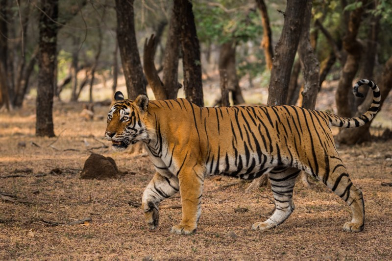 Tiger In Ranthambore Tiger Reserve, Sourabh Bharti, Sudhansu Mohanty