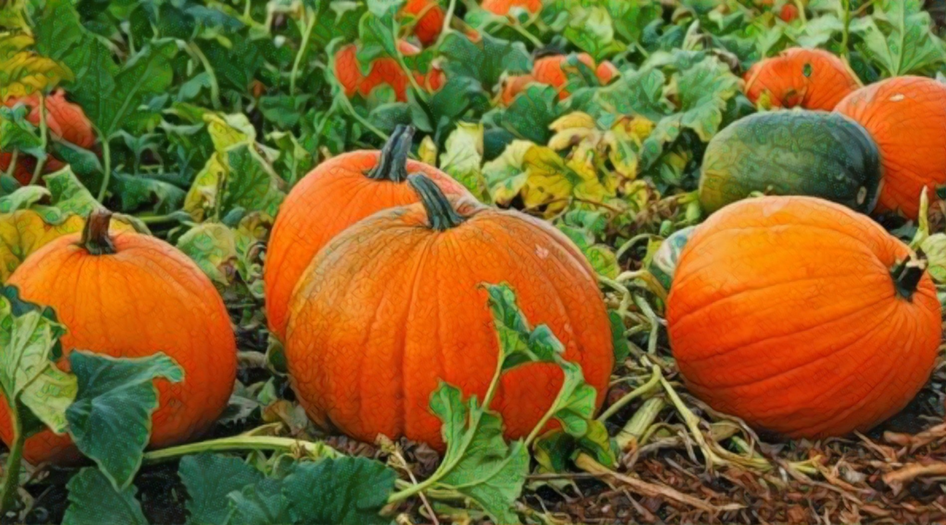 Sprinkler irrigation may affect pumpkin pollination & reduce agricultural yield