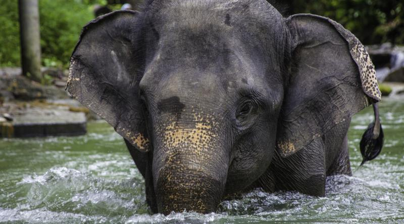 COP13: Conservation win for endangered Asian elephants as vital protection is awarded