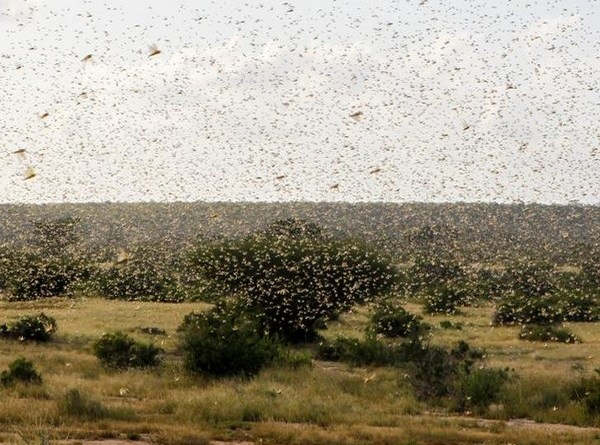 India suggests coordination with Pak, Iran, Bangladesh, Afghanistan to tackle locust threat