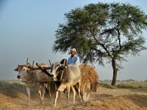Pakistani farmers