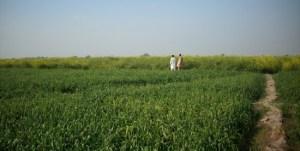 Wheat in Sindh