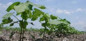 cotton_plants