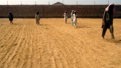 Photo of اتر سنڌ ۽ بلوچستان جي ميداني علائقن ۾ ٿيندڙ ساريالو فصل تيار
