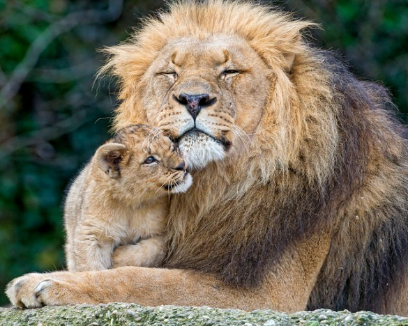 A lion cub was dissected in front of a group of school children at a Denmark Zoo and created an uproar in countries with populations unfamiliar with the traditions of farm life and animal care.