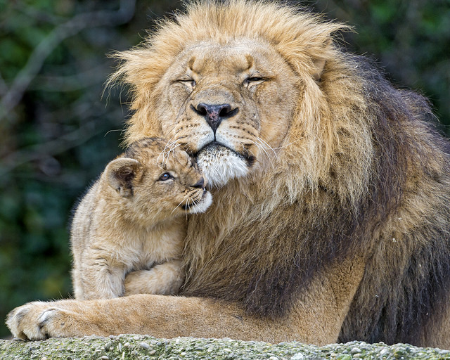 Danish Zoo Dissects Lion Cub, English Speakers Freak Out