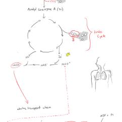 Explain Krebs Cycle With Diagram Jvc Kd R200 Wiring 2 Research Superfastindyfish