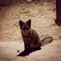 An endemic Catalina Island fox. They're tremendously cute.
