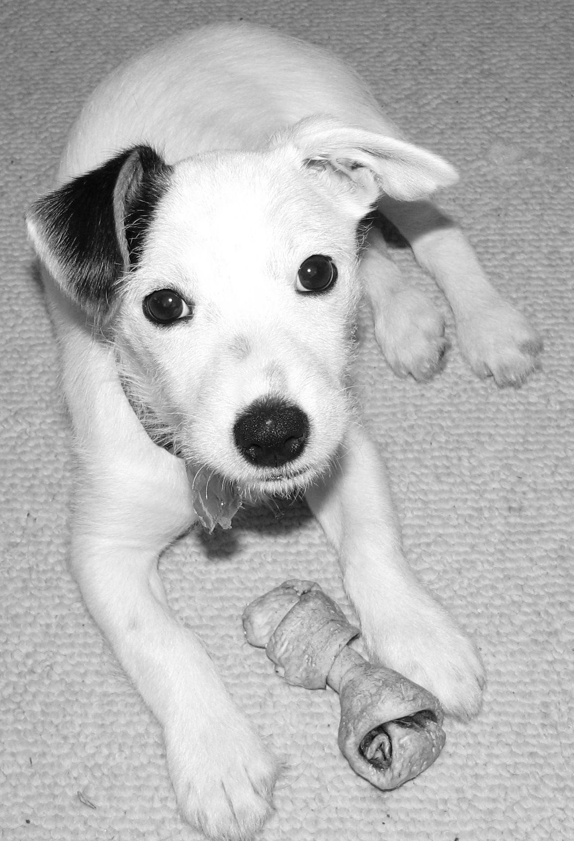 Short haired terrier