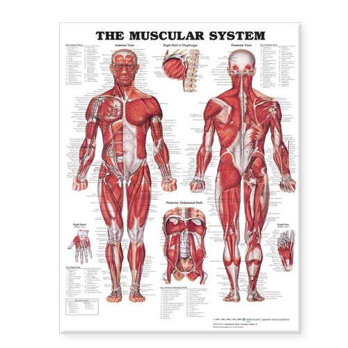 The Muscular System Giant Chart