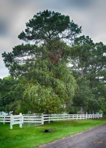 On a property along this road, which happens to be the Old Dallas - Shreveport Historic Parkway, a climbing rose and a pine tree grow together.