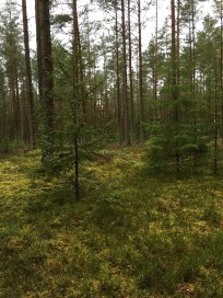 latvian-forest-55