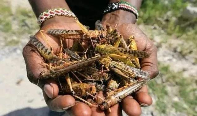 非洲蝗蟲卷土重來,數量激增20倍!威脅中國幾率有多大?_騰訊新聞