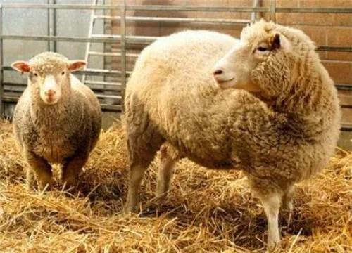 24年前就克隆出羊。為啥現在很少提克隆了?看多莉的一生就能明白_騰訊新聞