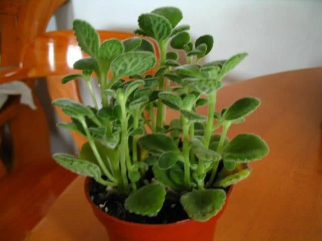 這種花一碰就香氣四溢,種一盆放在家裡,還可泡茶煲湯,香爽無比