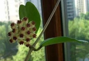 這種蘭不但會爬牆,只用一片葉就可以繁殖,還有美美的花