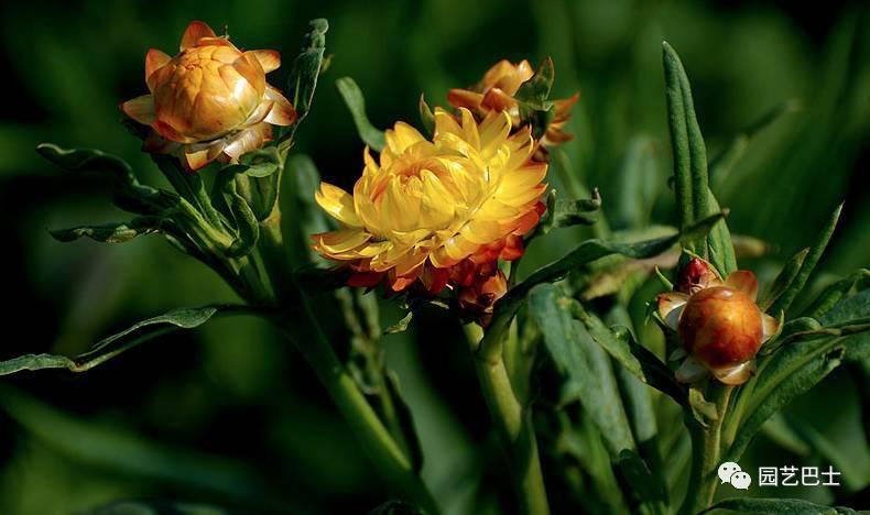 原產澳大利亞,寓意永恆記憶的麥稈菊