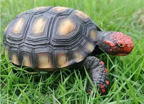科普:八大象龜之一的紅腿陸龜飼養全攻略-看點快報