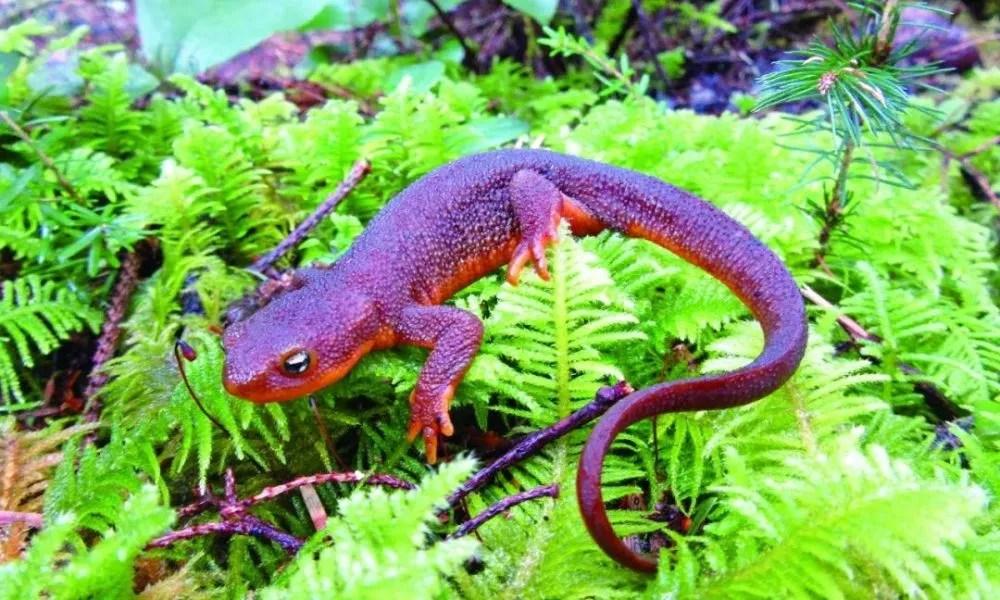 kitchen salamander design charlotte nc 红背蝾螈 森林健康的保卫者 天天快报 红背蝾螈以其特殊的外表和庞大的数目引起了科学家们的注意 这种广泛分布在北美森林的红背蝾螈是一种特殊的两栖生物 它对森林生态平衡起着至关重要的作用 能储存森林