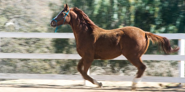 A horse gallops within a fenced enclosure at HiCaliber Horse Rescue in Valley Center on March 2, 2018. (Brandon Quester/inewsource)