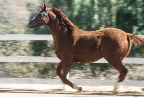 HiCaliber horses not welcome at parade over fears they'll infect other animals