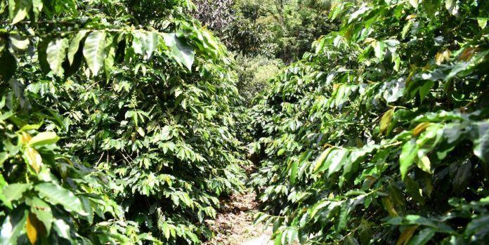 Plantación de Café de don Fredy Oliva en Los Albores