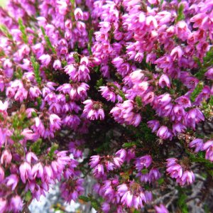 Purple flowers of Scottish heather in the Highlands