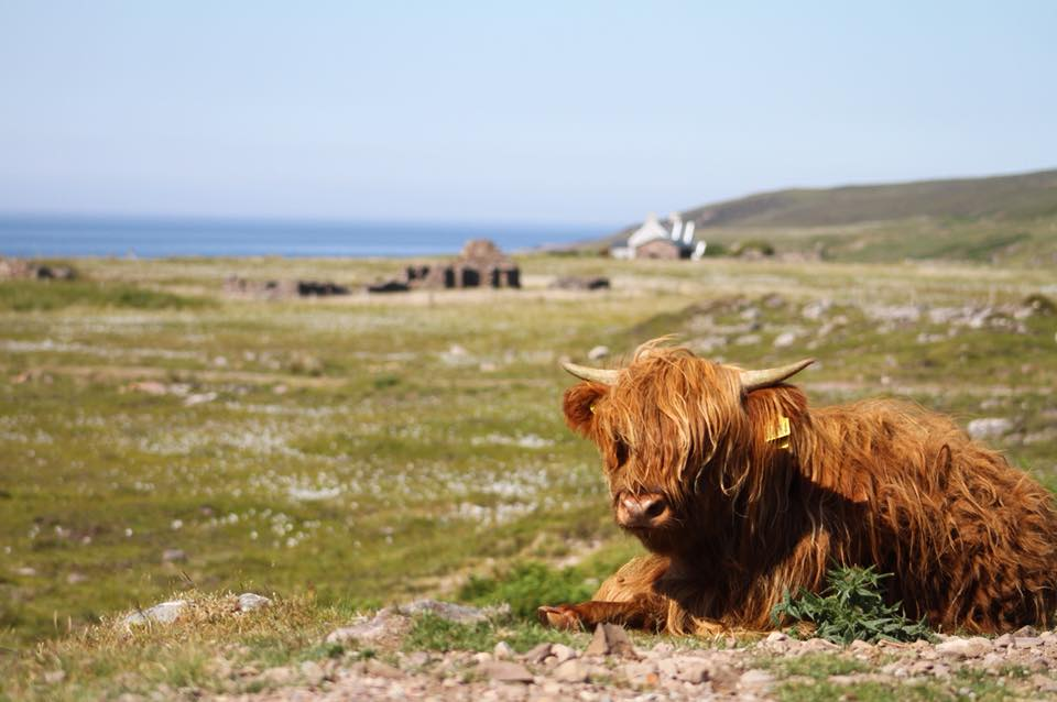 Tour Scottish islands of Iona and Skye to see highland cows roaming free in Scotland