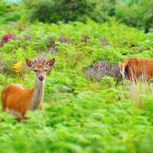 Eye contact from two roe deer partially hidden in green ferns